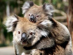 The baby koala.
